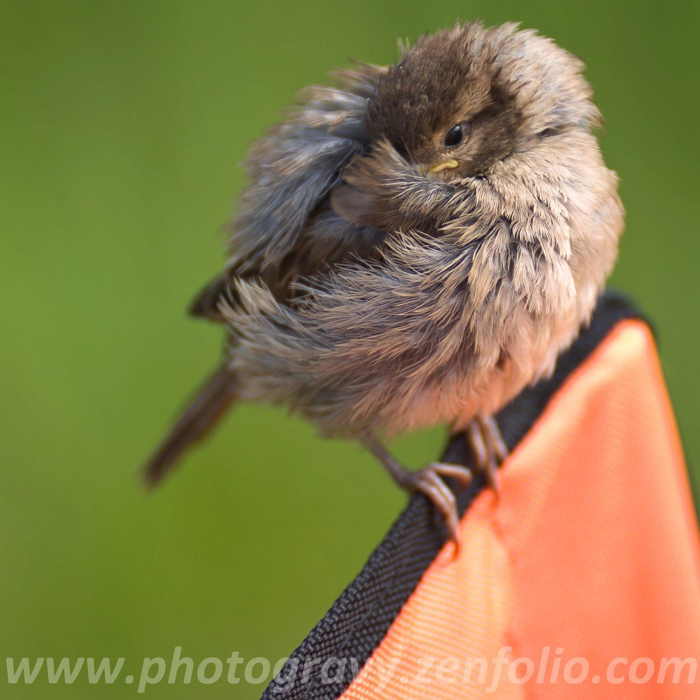 New Zealand, Sparrow