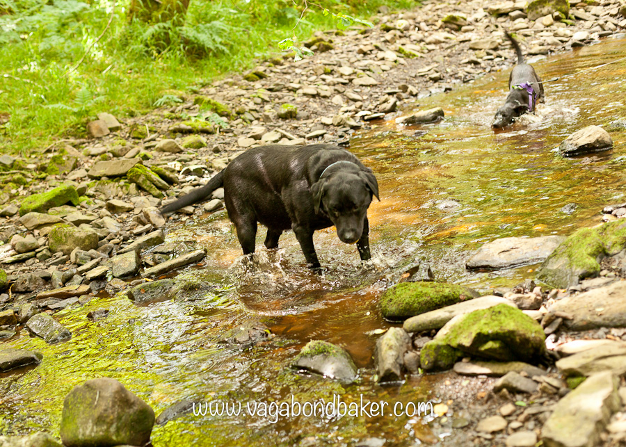 Howie and Molly take a dip in the beck.