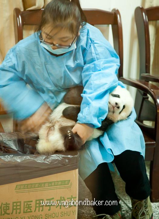 Giant Panda Breeding Research Centre | Chengdu, China