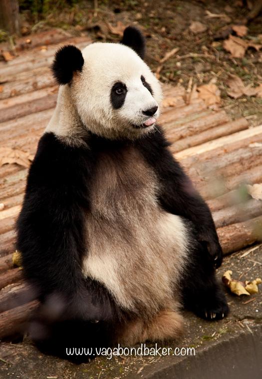 Giant Panda Breeding Research Centre   Chengdu, China
