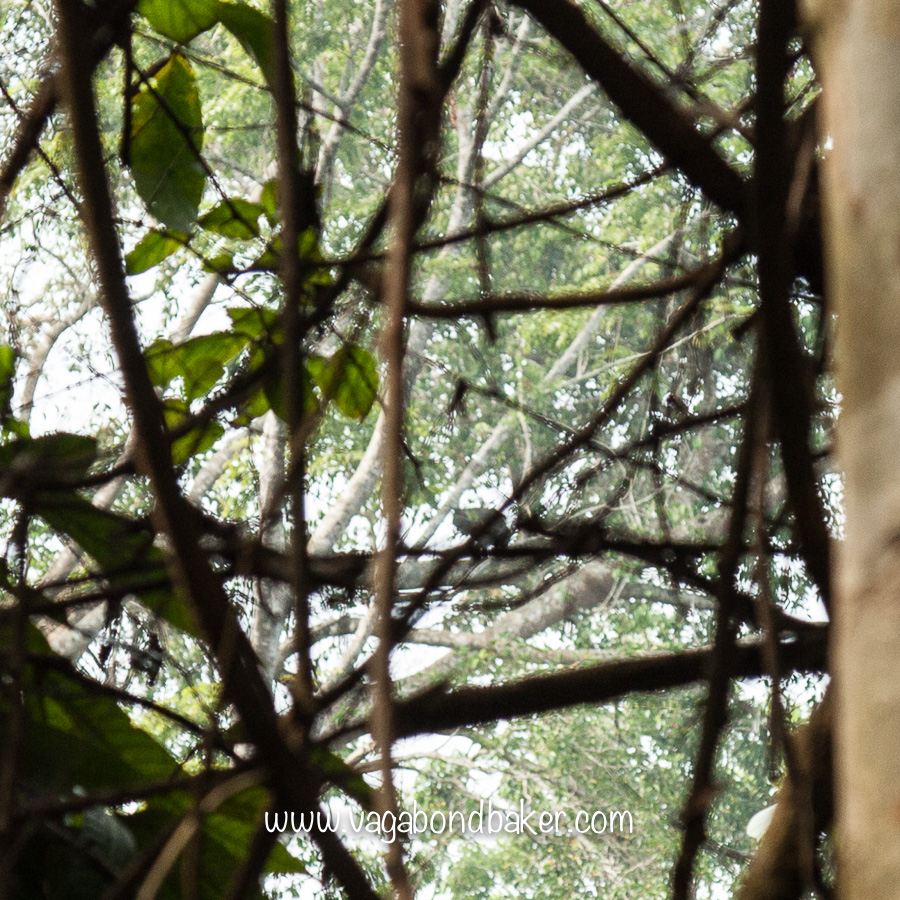 You'll have to take my word for it, but that dark blob in the middle of the photo is a Sun Bear!