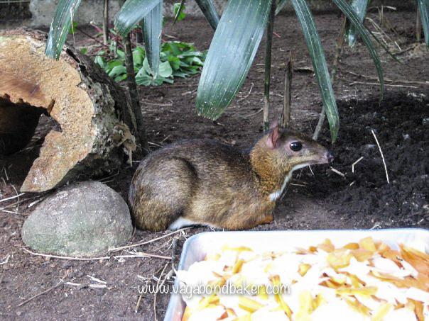 Mouse deer, Melaka