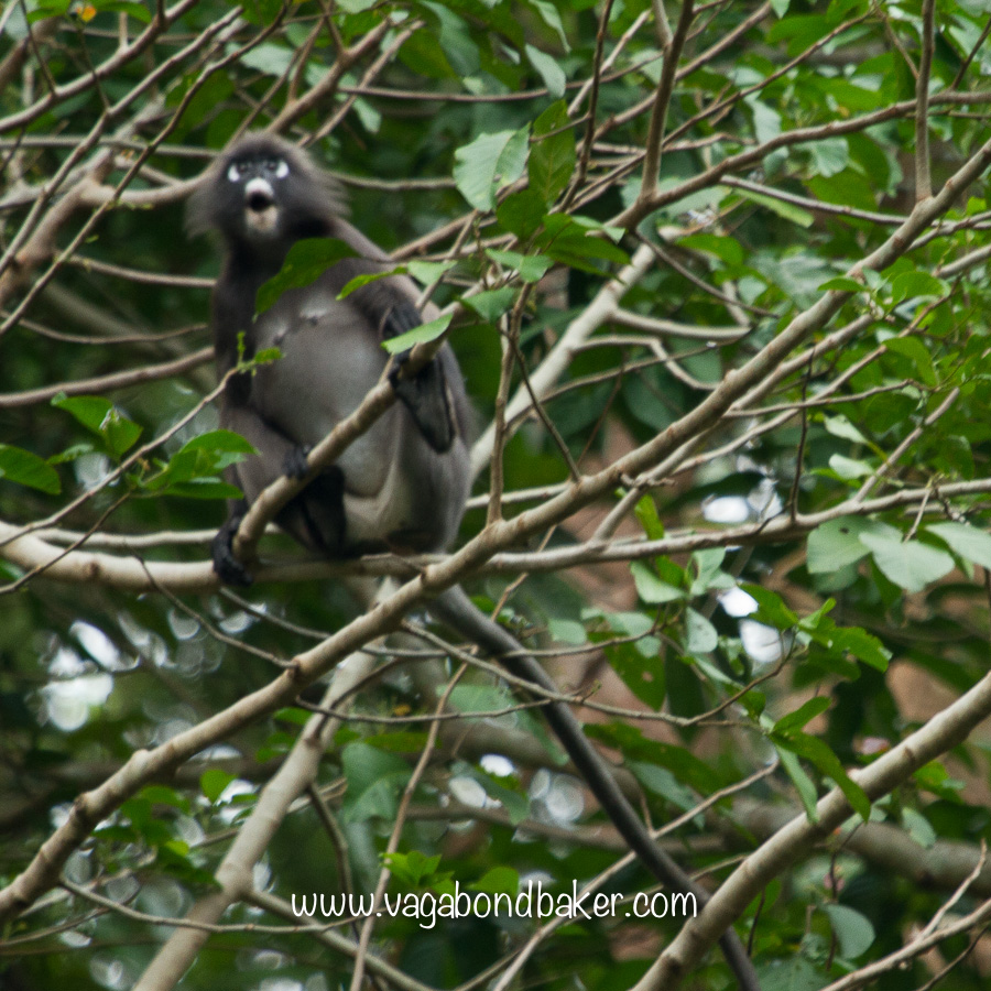 An (out of focus, sorry!) Dusky Leaf Monkey at the botanic gardens