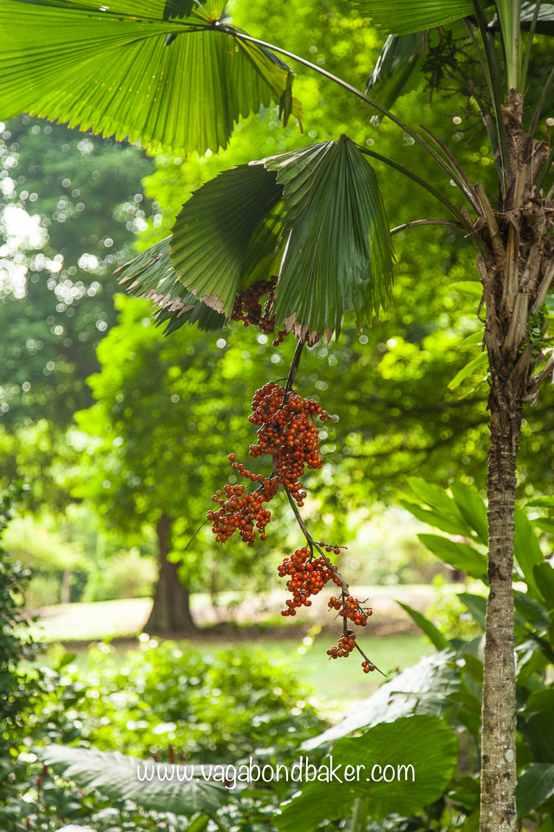 Singapore Botanic Gardens, free things to do in Singapore