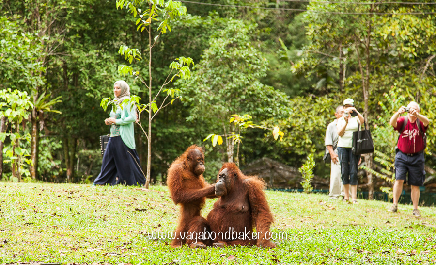 Semenggoh Orangutans
