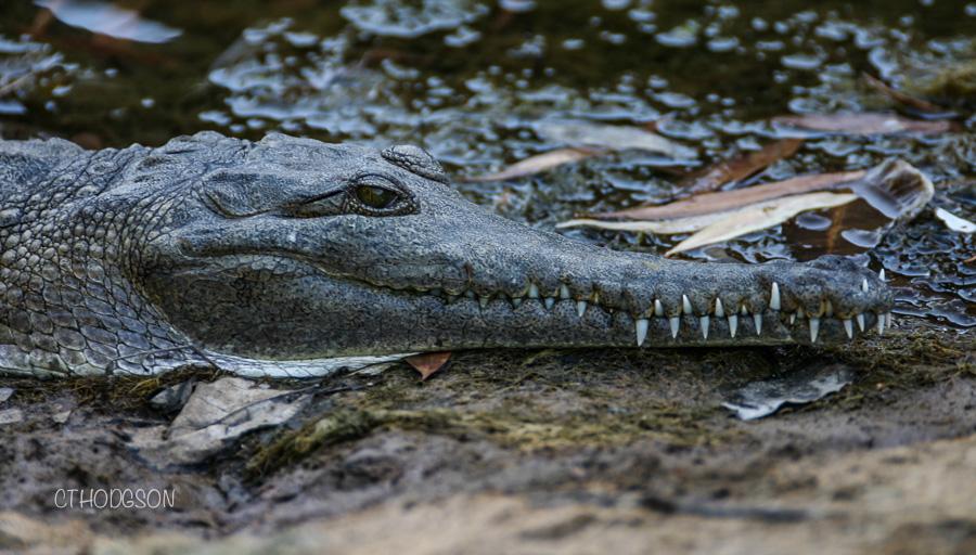 Snappy! Freshwater Crocodile