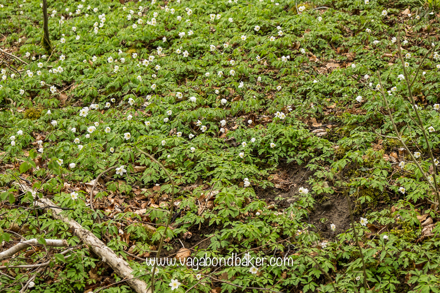 a carpet of wood anemone