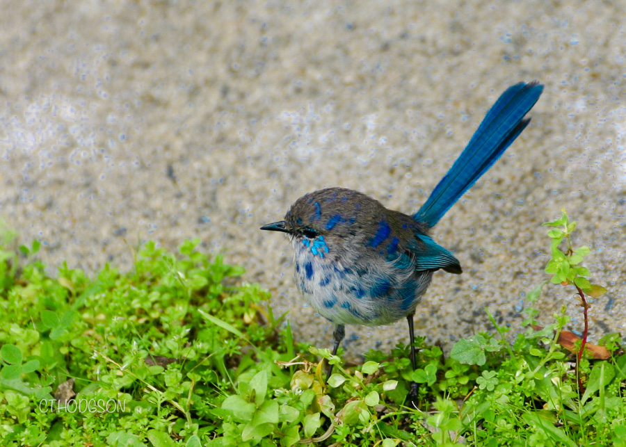 This tiny fairy wren hopped around the picnic site!