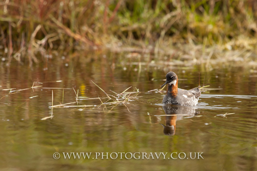 Red-necked Phalarope, a tiny bird, this is a female.