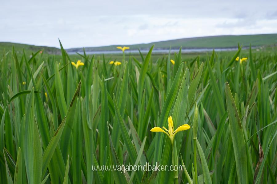 Flag iris on the Gruting walk
