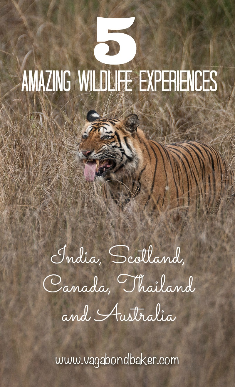 5 Amazing Wildlife Experiences // bears in Canada // tigers in India // eagles in Scotland // whales in Australia // gibbons in Thailand