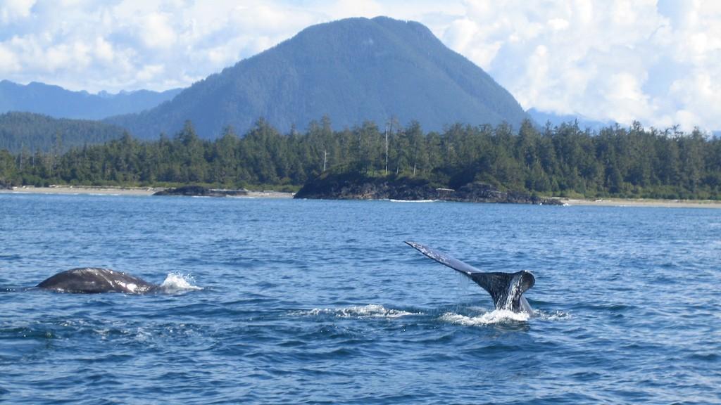 Gray Whales off Tofino // BC