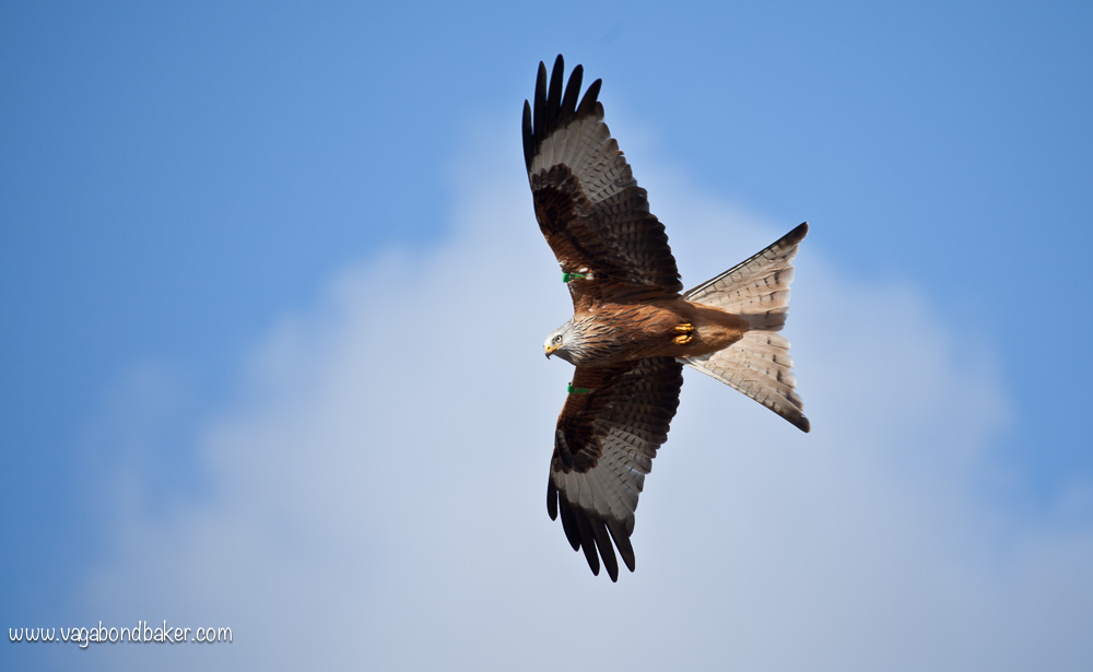 Red Kites at Bellymack Hill Farm // Scotland // Dumfries and Galloway