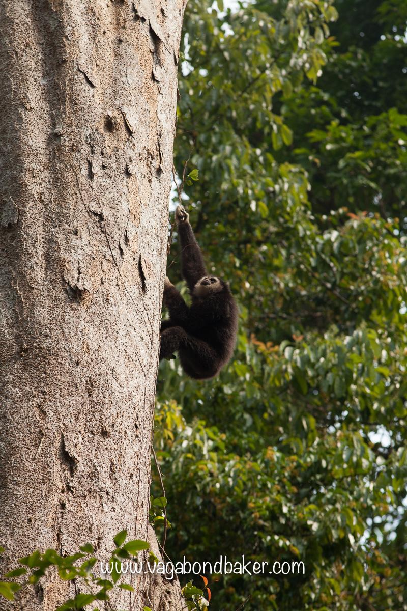 Gibbons at Khao Yai NP