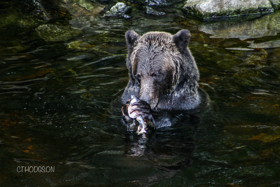Grizzly Bears BC