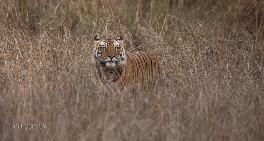 Tigers at Bandhavghar
