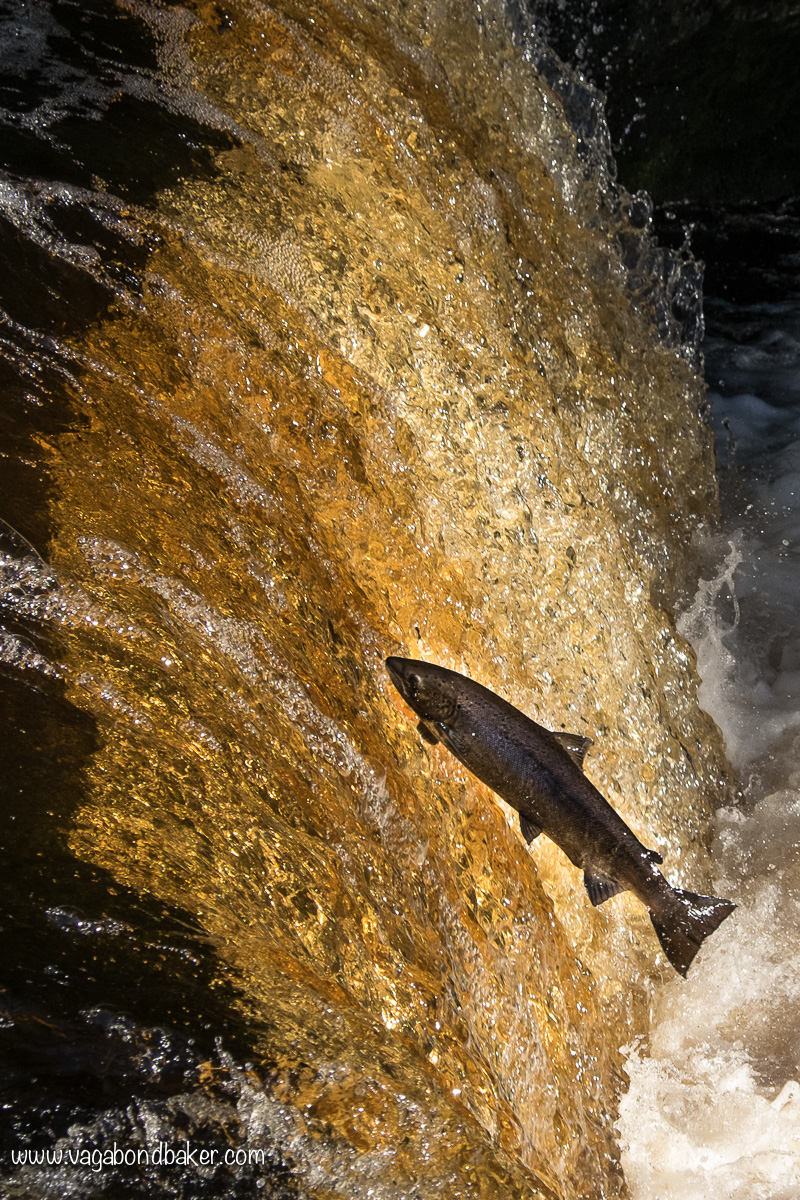 Stainforth Foss Salmon