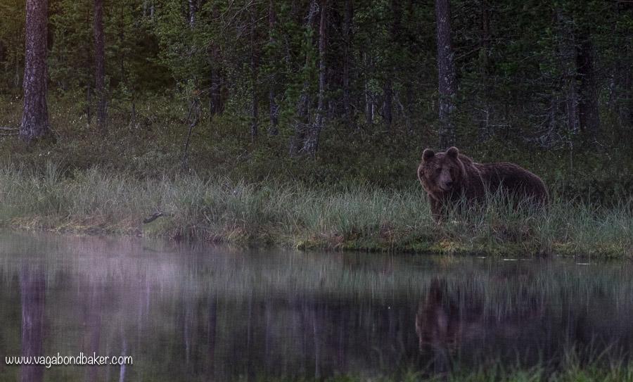 Finland Summer Bear